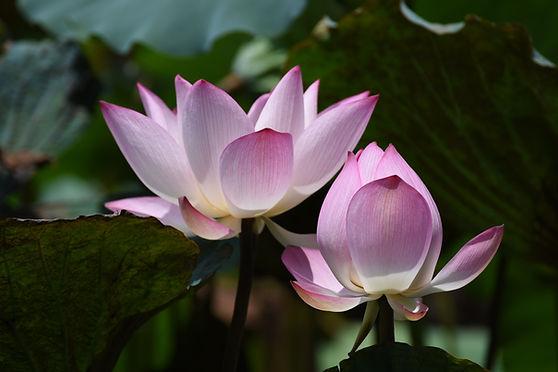 Lotus 1.jpg