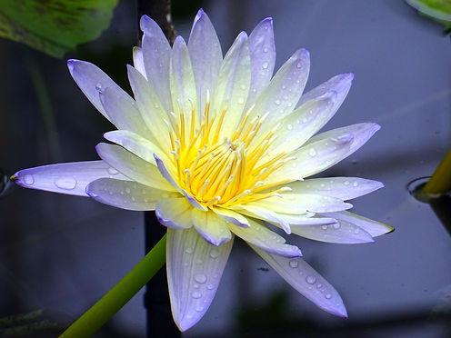 aquatic-aquatic-plant-beautiful-409800.j