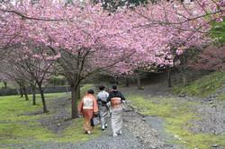 だんだん公園 八重桜