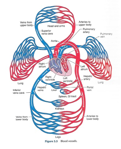 Heart & Blood Vessels