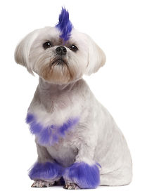 dog fur dye, fur color dog