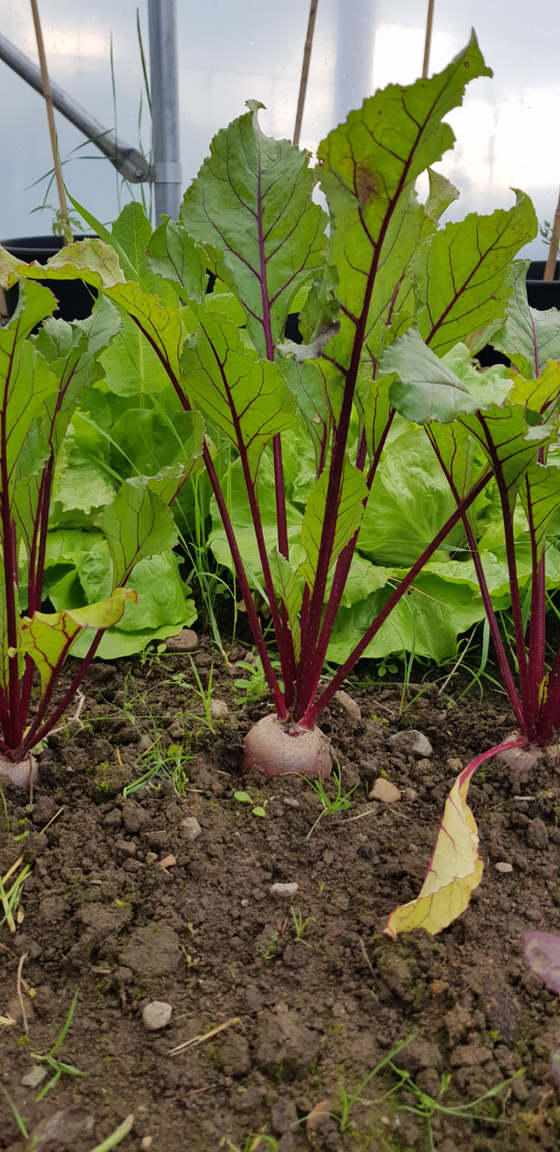 Poly Tunnel Recipe no2: Beetroot Gazpachos