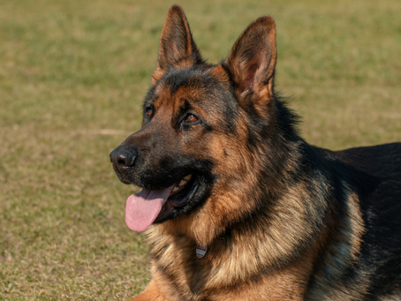 The German Shepherd In Your Trauma Brain