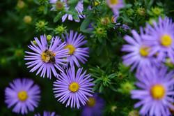 native plants and pollinators