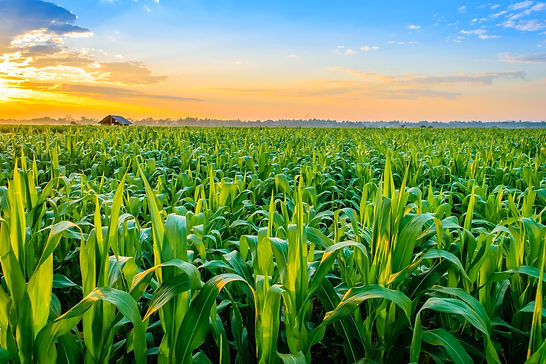 corn-plant-care.jpg