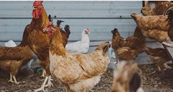 chicken health - Goodwinol Products Corp