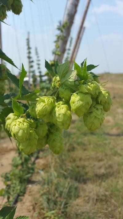 G5 Brew Pub, Hops, Severance CO