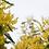 Thumbnail: Jaune Mimosa