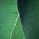 Thumbnail: Vert bananier