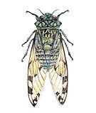 watercolor-cicada-insect-watercolor-illu