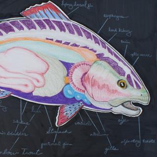 Rainbow Trout Anatomy