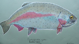 Fat Rainbow Trout
