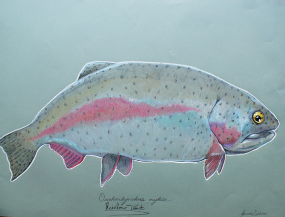 fat%20rainbow%20trout_edited.jpg