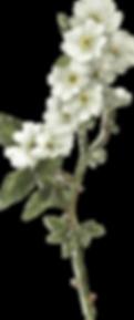 botanical_0019_1.png