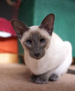 Современный тип сиамских кошек
