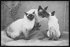 Сиамская кошка старого типа