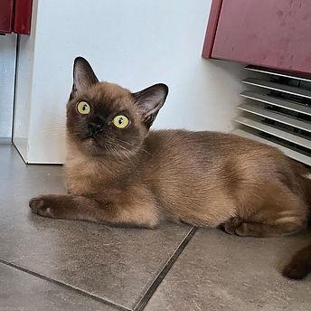 американская бурма котята Rangpurcat