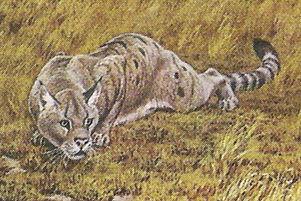 Псевдэлур (Pseudaelurus) / Rangpurcat