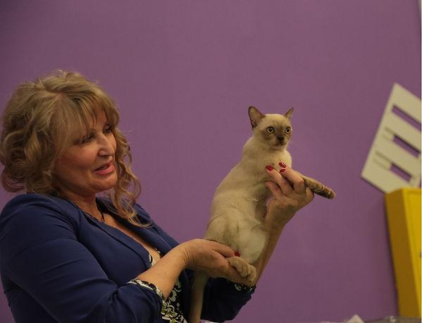 Американская бурма (выставка кошек)