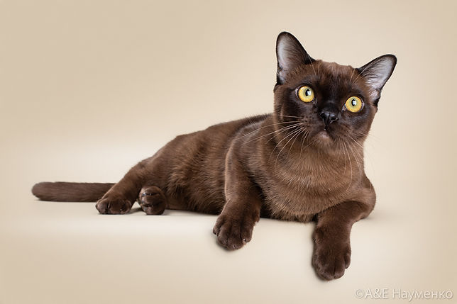 Cat Lucas burmese