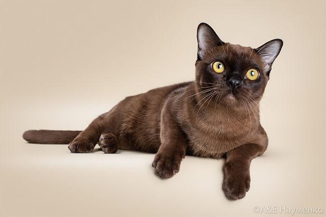 Cat Lucas burmese