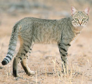 Felis silvestris lybica / Rangpurcat
