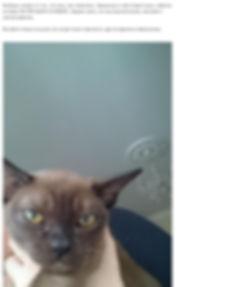 Бурманская кошка - отзывы  | Rangpurcat