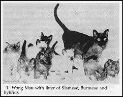 Вонг Мау американская бурма