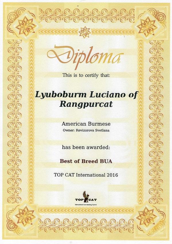 Best of Breed american burmese