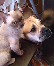 котенок бурма и собака