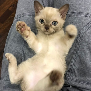 Котята американская бурма / Rangpurcat
