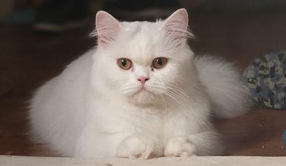 JCH White Beauty Merlinowo.jpg
