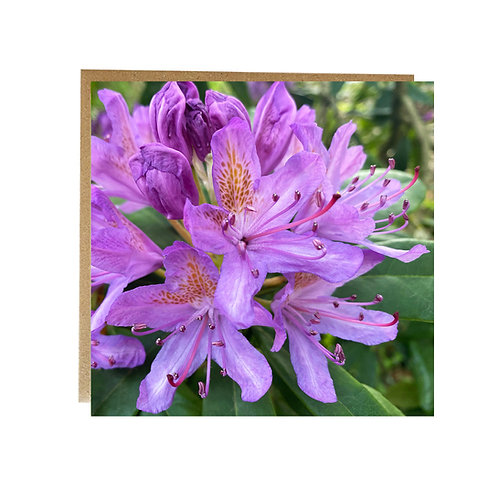 pale Purple Rhododendron Greeting Card