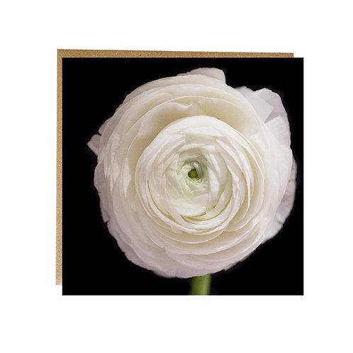 White Ranunculus greeting card