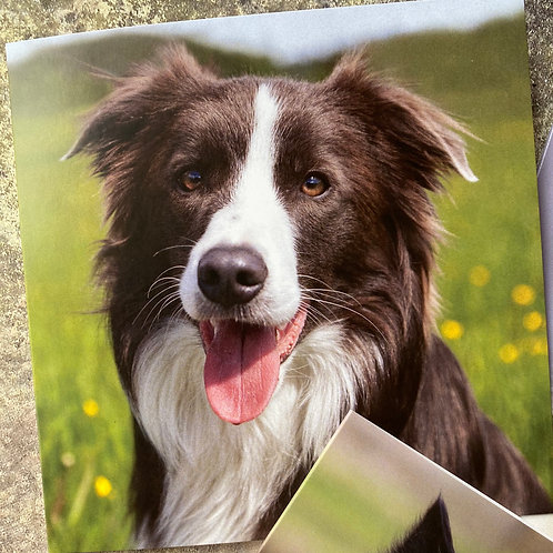 DBC028 of Collie Greeting Card