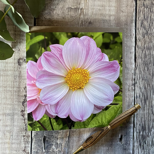 Pink Cosmos flower greeting card