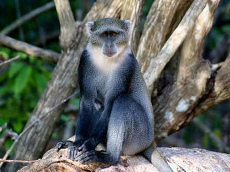 SYKES' MONKEYS IN NGONG ROAD FOREST