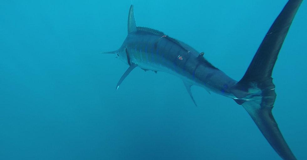 alleycat-marlin-underwater.jpg