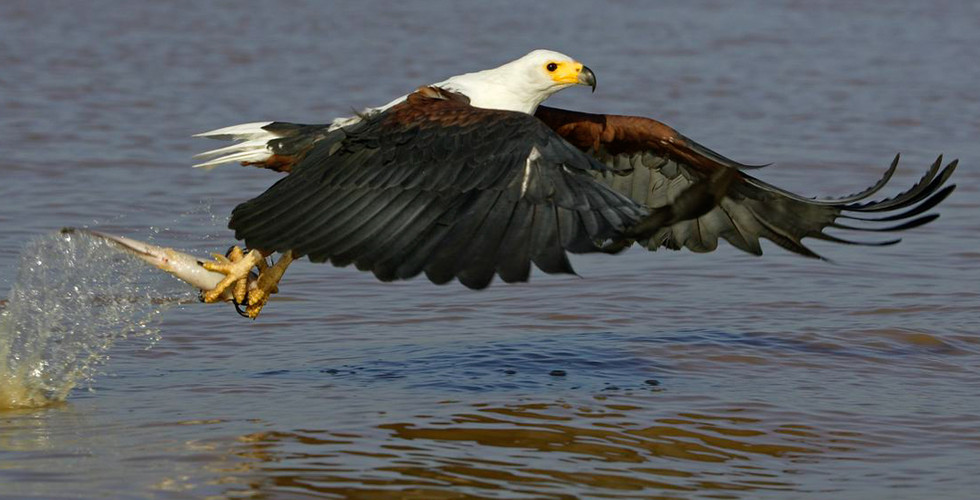 african-fish-eagle-catches-fish-1.jpg