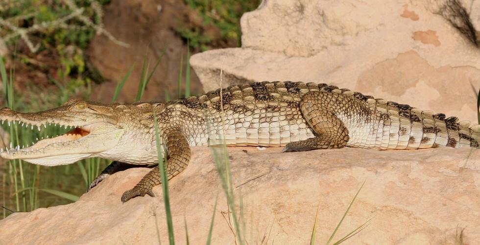 crocodile-on-rock.jpg