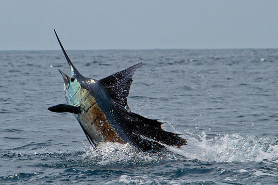 stu-simpson-sailfish-head.jpg