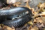 forest-cobra-in-leaves.jpg