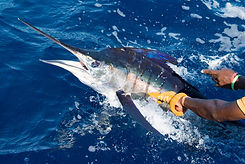 nic_striped_marlin.jpg