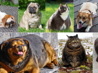Pet Obesity is a Serious Health Issue