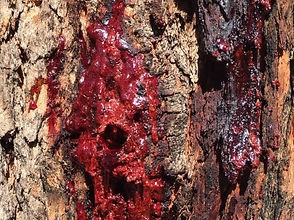 Marri%20gum%20oozing%20from%20tree_edite