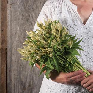 Celosia White