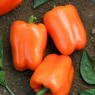 Pepper-Orange-Blaze-F1.jpg