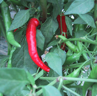 Pepper, Thai Hot.jpg