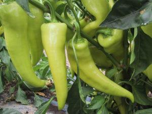 Pepper, Banana Sweet.jpg
