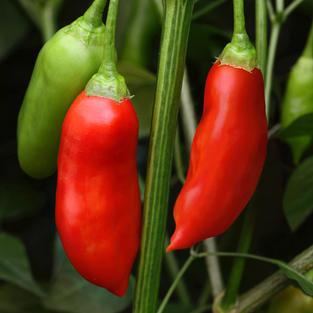 Pepper, Aji Rico.jpg